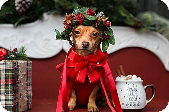 Dachshund/Chihuahua Mix Dog for adoption in Auburn, California - Pixie