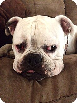 American Bulldog Dog for adoption in Fremont, California - Comet