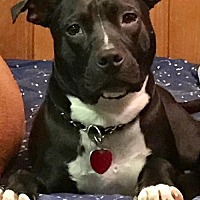 Adopt A Pet :: Rock (Black) - Whitestone, NY