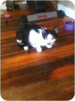 Domestic Shorthair Kitten for adoption in West Park, New York - Pierre