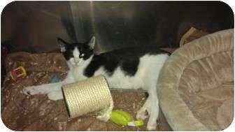 Domestic Shorthair Kitten for adoption in Staten Island, New York - Jack
