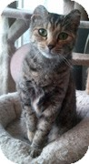 Domestic Shorthair Cat for adoption in Anchorage, Alaska - Tilley