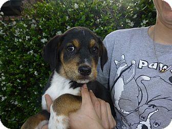 German Shepherd Dog/Labrador Retriever Mix Puppy for adoption in Oviedo, Florida - James