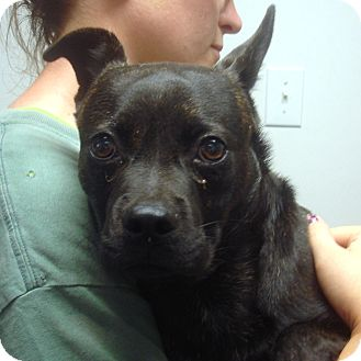 Boston Terrier Mix Dog for adoption in Greencastle, North Carolina - Cliff