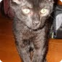 Domestic Shorthair Cat for adoption in Rutledge, Tennessee - Mack