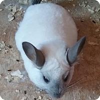 Adopt A Pet :: Snowball - Granby, CT