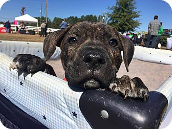 Mastiff/Boxer Mix Puppy for adoption in CUMMING, Georgia - Monkey