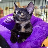 Adopt A Pet :: Toggle - Los Angeles, CA