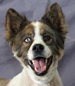 Australian Shepherd Mix Dog for adoption in Modesto, California - Edinger