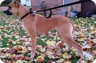 Boxer/Shepherd (Unknown Type) Mix Dog for adoption in East Sparta, Ohio - Sophia