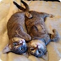 Adopt A Pet :: Kevin - Alvin, TX