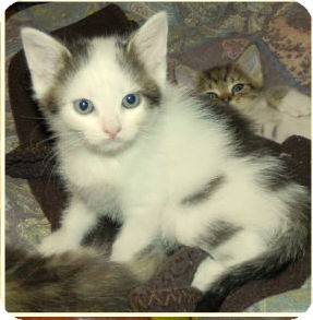 Domestic Shorthair Kitten for adoption in Chattanooga, Tennessee - Binx