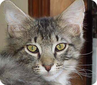 Maine Coon Kitten for adoption in Vero Beach, Florida - River