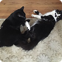 Adopt A Pet :: Bonded PAIR/Ozzy and Charlie - Bryn Mawr, PA