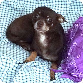 Chihuahua Dog for adoption in Durham, North Carolina - Molly
