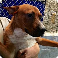 Adopt A Pet :: Leo - El Centro, CA