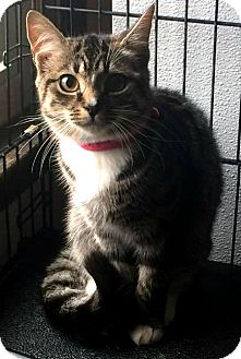 Domestic Shorthair Kitten for adoption in Jefferson, North Carolina - Raven
