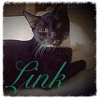 Domestic Shorthair Kitten for adoption in Garner, North Carolina - Link