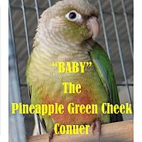 Adopt A Pet :: Pineapple Green Cheek Conure - Vancouver, WA