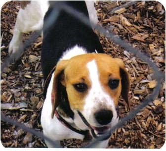 Beagle Mix Dog for adoption in Little River, South Carolina - Kascy