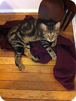 Domestic Shorthair Cat for adoption in Chicago, Illinois - Grover