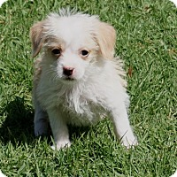 Adopt A Pet :: Snickers - La Habra Heights, CA