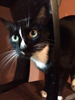 Domestic Shorthair Cat for adoption in Dallas, Texas - Ripley