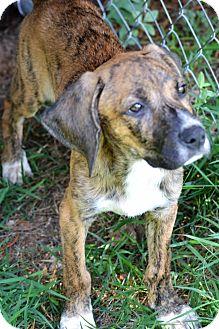 Plott Hound/Hound (Unknown Type) Mix Puppy for adoption in Albemarle, North Carolina - Carl