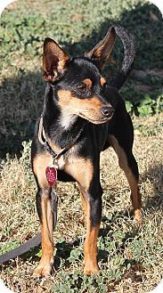 Manchester Terrier Dog for adoption in Winters, California - Scooby