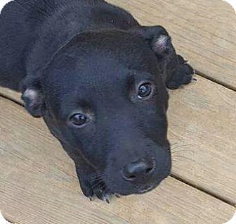 Labrador Retriever Mix Puppy for adoption in Staunton, Virginia - Clyde