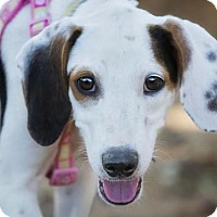 Treeing Walker Coonhound Mix Puppy for adoption in El Cajon, California - Haven