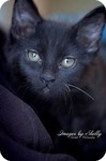 Domestic Shorthair Cat for adoption in Vancouver, British Columbia - Daisy