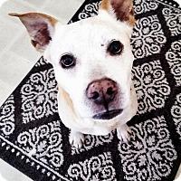 Adopt A Pet :: Amos - Ft. Myers, FL