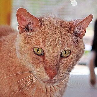 Domestic Shorthair Cat for adoption in Kanab, Utah - Grover