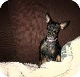 Miniature Pinscher Dog for adoption in Quentin, Pennsylvania - Jelly Bean - Soooo Cute!