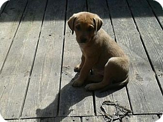 Labrador Retriever/Shepherd (Unknown Type) Mix Puppy for adoption in Clinton, Maine - Butterscotch & Siblings