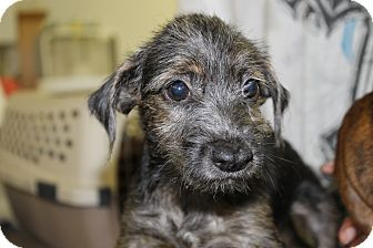 Terrier (Unknown Type, Small) Mix Puppy for adoption in Waldorf, Maryland - Fritz