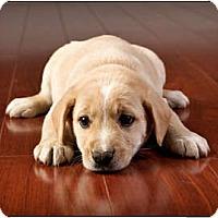 Adopt A Pet :: Basil - Owensboro, KY