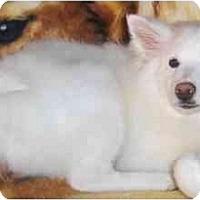 Adopt A Pet :: Eskie - Toronto/Etobicoke/GTA, ON