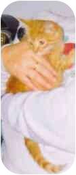 American Shorthair Kitten for adoption in Fayette, Missouri - Jack Skellington