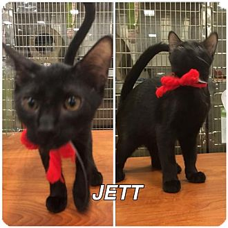 Domestic Shorthair Cat for adoption in Orlando, Florida - JETT