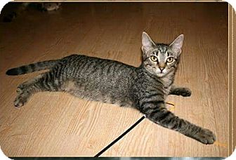 Domestic Shorthair Cat for adoption in Bartlett, Tennessee - Emma