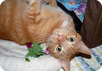 Domestic Shorthair Cat for adoption in Prescott, Arizona - Chloe