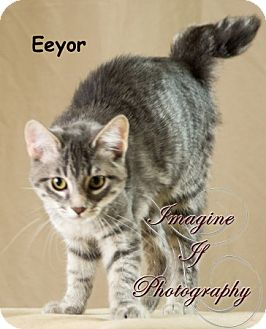 Domestic Shorthair Cat for adoption in Oklahoma City, Oklahoma - Eeyor