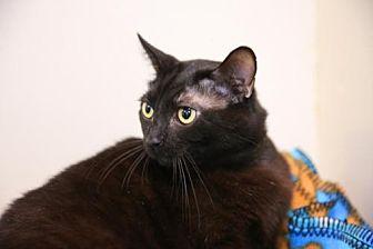 Domestic Shorthair Cat for adoption in Columbus, Ohio - Metro
