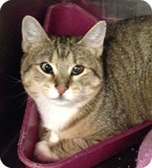 Domestic Shorthair Cat for adoption in Milton, Massachusetts - Scramble