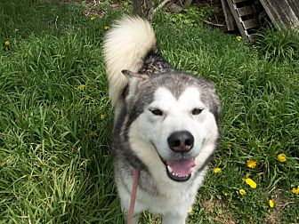 Alaskan Malamute Mix Dog for adoption in Augusta County, Virginia - Bucky