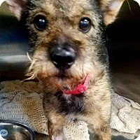 Adopt A Pet :: Bridget - Las Vegas, NV