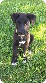 Australian Cattle Dog/Labrador Retriever Mix Puppy for adoption in MCLEAN, Virginia - Dunn