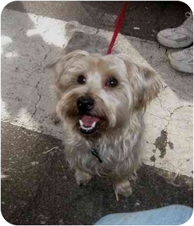 Yorkie, Yorkshire Terrier Dog for adoption in Conroe, Texas - Bendi